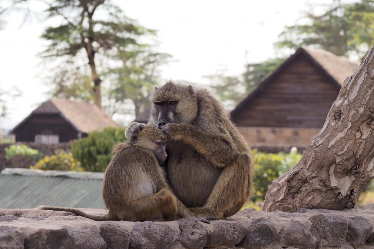 Amboseli National Park Monkeys