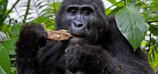 3 Days Uganda Mountain Gorilla trekking safari