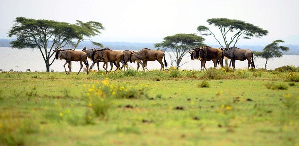 7 Days Masai Mara, Lake Naivasha & Amboseli Safari