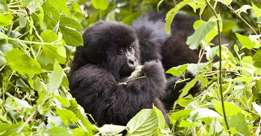5 Days Uganda Gorilla & chimpanzee Trekking safari