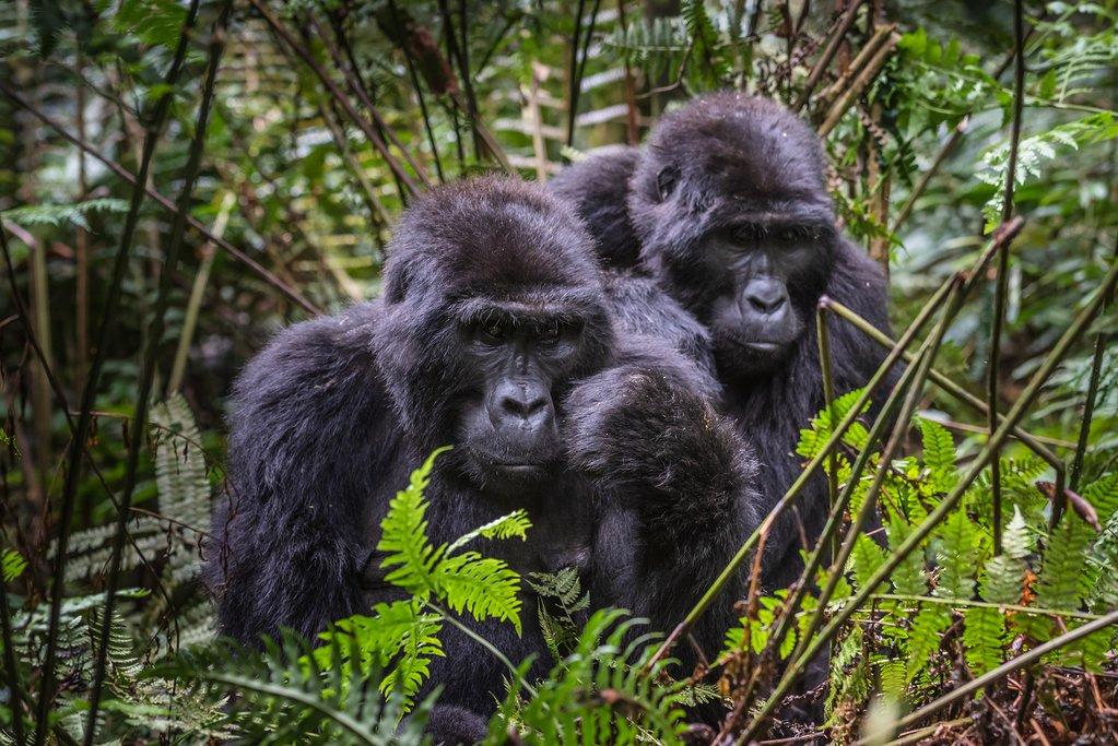 Mountain Gorilla Families in Bwindi Impenetrable National Park