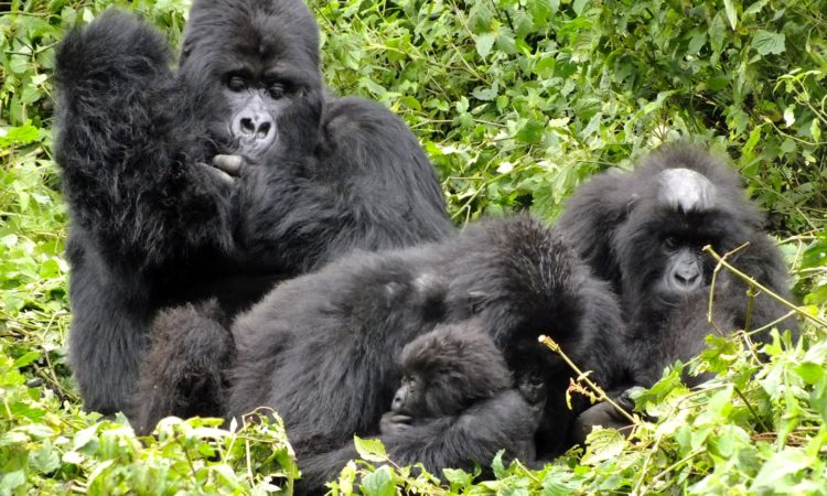 Mountain gorilla groups/ families in volcanoes national park